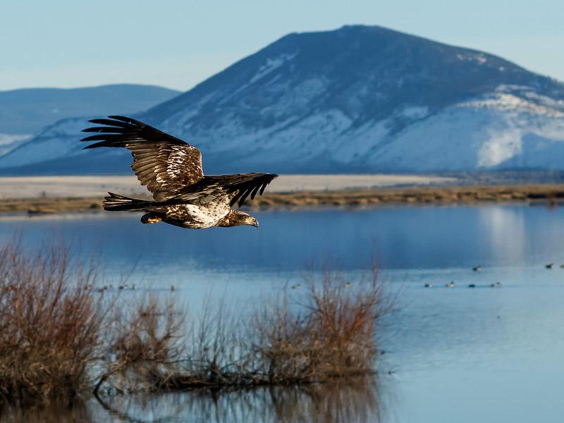 Klamath Basin Wildlife Refuge Complex Key Stop on Pacific Flyway
