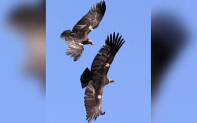 Nature in the Basin: Condors Are Coming Back to Klamath