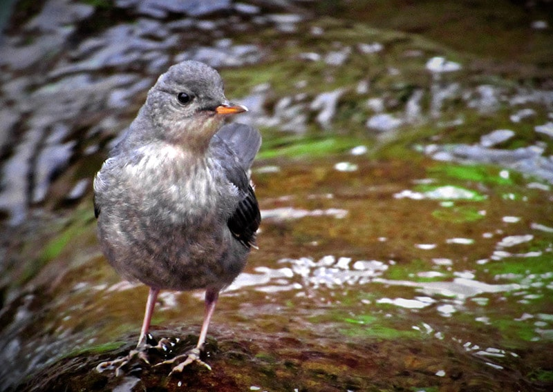 The American Dipper: Semiaquatic Hunter in a Tiny Package