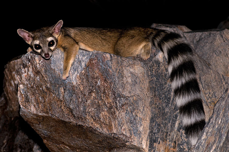 Ringtails: Mysterious Denizens of the Night
