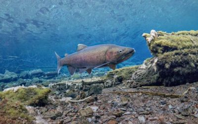 Redband Trout: Historically Productive, Increasingly Understood